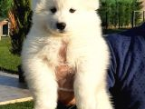 SATILIK MUKEMMEL SAMOYED