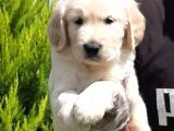 SAFKAN GOLDEN RETRIEVER YAVRULARI