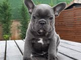 SATILIK French Bulldog Blue  Yavruları