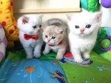 British shorthair full secereli