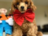 MICRO CHİPLİ PASAPORTLU RED BROWN TOY POODLE YAVRUMUZ