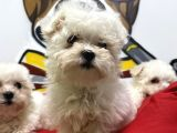 Secereli Teacup Korean Maltese Terrier Yavrular