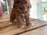 RED BROWN MALTİPOO YAVRULAR