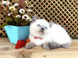 Süper Kalite Blue Point British Shorthair Yavrumuz Sumo