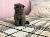 scootish Fold ve British Shorthair