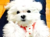 TEACUP KOREAN TERRIER MALTESE YAVRULARIMIZ