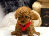 SHOW CLASS RED BROWN POODLE