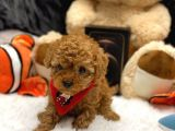 SHOW CLASS RED BROWN TOY POODLE