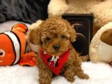 SHOW KALİTE RED BROWN POODLE