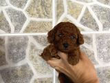 Red Brown Show Toy Poodle Yavrular