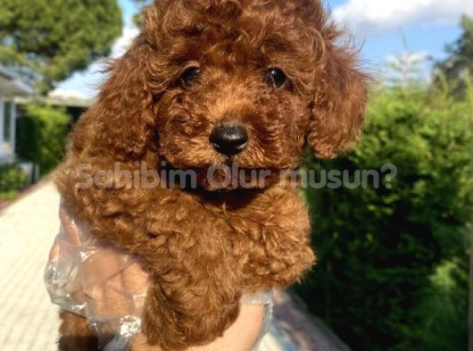 RED BROWN TOY POODLE