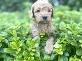 Mini red brown toy poodle