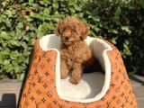 SHOW KALİTE RED BROWN TOY POODLE