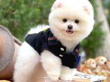 AA Kalite Safkan  Pomeranian Oğlumuz Pablo