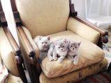 Safkan british shorthair yavrular 1 aylık