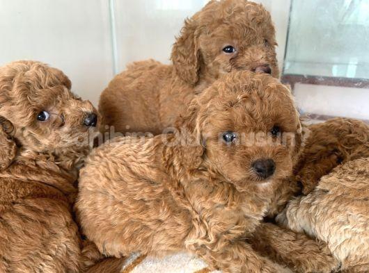 Anne altından toy poodle yavrular