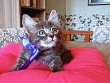 Acil Olarak Sahiplendirilecek Yavru Kedi İlanı