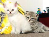 2 Kardeş yeni yuvasını bekliyor (gri scottish - beyaz british)