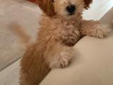 Uygun 3 aylık poodle