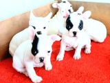 sevimli fransız bulldog erkek dişi yavrular