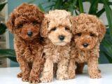 Toy poodle orjinal safkan redbrown ve apricot garantili gerçek