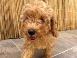 13 Temmuz doğumlu toy poodle yavrumuz rezerveye açık