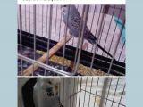 Guzeler guzelı kuşumuz sahıblendılır ısteyen arkadaş bıze ulaşabılır