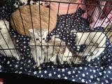 Baba Scottish fold -Anne British bluepoint yavruları 40 günlük