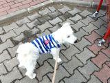 9 aylık maltese terrier