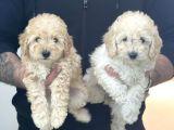 Red & apricot  tüy yumağı sevimli toy poodle yavrularımız