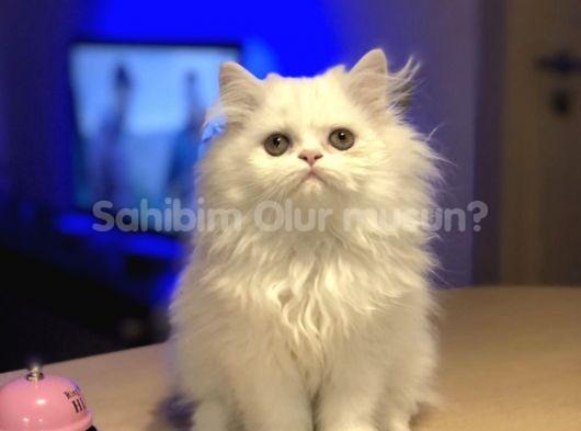 CHAMPİON ANNE BABADAN CHİNCLLA