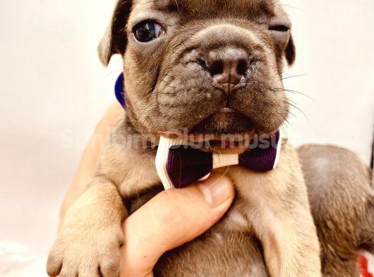 Blue fransız bulldog son 3 yavru
