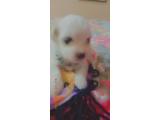 Pamuk şekeri kadar tatlı sevimli şirin mi şirin safkan maltese terrier yavrularım