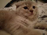 Scottish fold yavru kedilerim