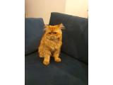 Safkan iran kedisi 1 yasinda - erkek