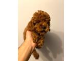 Red Brown toy poodle yavrumuz PASAPORTLU