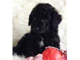 Tüy yumağı sevimli black toy poodle yavrumuz