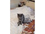 British Shorthair 11 Aylık Erkek Kedimize Eş Arıyoruz