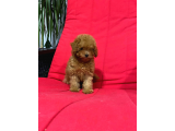 Irk Garabtili Toy Poodle Puppies