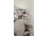 6 aylık beyaz british shorthair