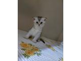 Sıcakkanlı Scottish Fold Yavru Kedi