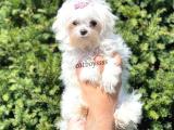 Kore kanı dişi maltese terrier yavru @catboyssss da