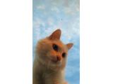 11 aylık erkek ankara kedisi kedime eş arıyorum