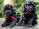 Siyah inci black toy poodle yavrular (dişi,erkek)