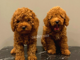 Baby face red brown toy poodle yavrular @catboyssss da
