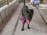 Devasa Koruyucu Herkül Bandogge Mastiff