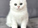 Biblo bebek silver shaded scottish fold erkek yavru