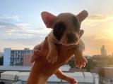 Safkan korsan french Bulldog yorumlarımız