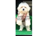 Terrier maltese 2 aylık