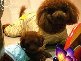 Red Brown Toy Poodle yavrulari